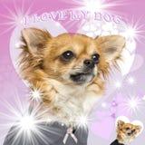 奇瓦瓦狗的特写镜头在迷人的背景的 库存照片