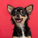 奇瓦瓦狗的特写镜头 库存照片