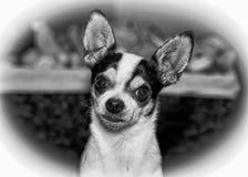 奇瓦瓦狗的纵向 免版税库存图片