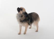 奇瓦瓦狗的画象 库存照片