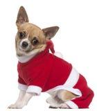 奇瓦瓦狗穿戴的成套装备圣诞老人 库存图片