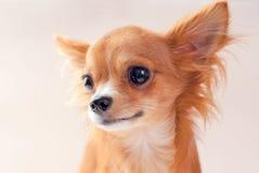 奇瓦瓦狗纵向俏丽的小狗红色 免版税图库摄影
