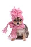 奇瓦瓦狗给冬天穿衣 库存图片