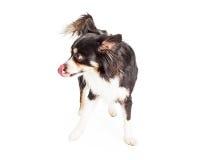 奇瓦瓦狗舔它的嘴唇的被混合的品种狗 图库摄影
