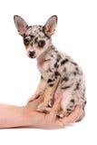 奇瓦瓦狗被察觉的现有量藏品 免版税图库摄影