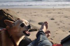奇瓦瓦狗谈话在海滩 免版税库存图片