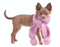 奇瓦瓦狗迷人的桃红色小狗围巾 免版税库存照片