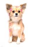奇瓦瓦狗逗人喜爱的小狗 免版税库存照片