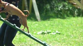 奇瓦瓦狗通过狗步行设备容易地跑 股票录像