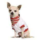 奇瓦瓦狗镶边的衬衣坐 库存图片