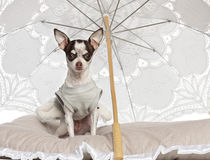 奇瓦瓦狗, 10个月,坐在遮阳伞之下 库存图片