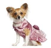 奇瓦瓦狗, 10个月,坐 图库摄影