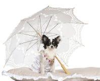 奇瓦瓦狗, 7个月,坐在遮阳伞之下 库存照片
