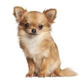 奇瓦瓦狗, 7个月,坐 免版税库存照片
