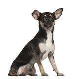 奇瓦瓦狗, 9个月,坐 库存照片