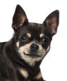 奇瓦瓦狗(18个月)的特写镜头 库存照片