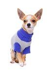 奇瓦瓦狗头发的短小 免版税库存照片