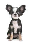 奇瓦瓦狗头发的长的小狗 免版税库存图片