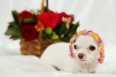 奇瓦瓦狗画象与头饰带的以花冠的形式 免版税库存图片