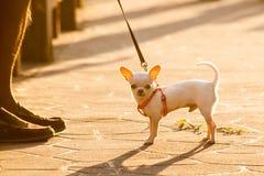 奇瓦瓦狗 库存照片