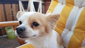 奇瓦瓦狗 免版税库存图片
