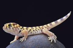 奇迹壁虎(Teratoscincus小蜥蜴类) 库存照片