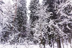 奇迹雪盖的冬天森林 免版税图库摄影