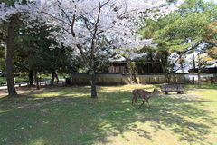 奈良公园,日本 库存照片