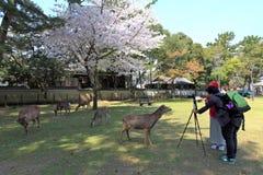 奈良公园,日本 图库摄影