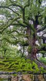 奈良,日本,威严14日2017年:与绿色青苔的古老树和大根在奈良停放 免版税库存照片