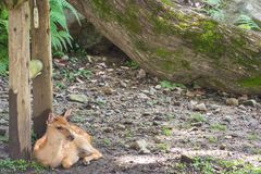 奈良,日本, 8月 第14, 2015年 一头鹿在奈良公园,日本的社论照片 免版税库存图片