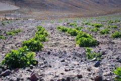 奎奴亚藜,种田,大农场 库存图片