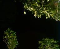 奎宁、番木瓜、红毛丹和星在晚上 图库摄影