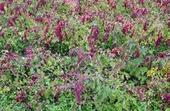 奎奴亚藜种植园在乡下 免版税库存图片