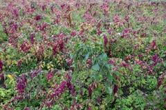 奎奴亚藜种植园在乡下 免版税库存照片
