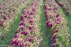 奎奴亚藜种植园在乡下 库存照片