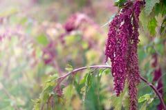奎奴亚藜种植园在乡下 库存图片