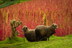 奎奴亚藜种植园在钦博拉索山,厄瓜多尔 免版税库存图片
