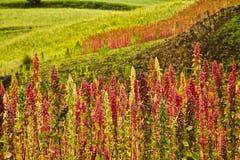 奎奴亚藜种植园在钦博拉索山,厄瓜多尔 库存图片