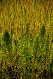 奎奴亚藜种植园在钦博拉索山,厄瓜多尔 库存照片