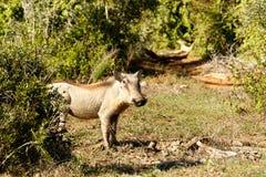 奔跑-非洲野猪属africanus共同的warthog 库存图片