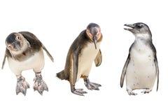 套三只企鹅充分的身体,站立 免版税库存图片