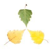 套三片槭树叶子用不同的状态凋枯 图库摄影