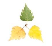 套三片槭树叶子用不同的状态凋枯 免版税库存照片