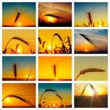 套与金黄庄稼的图片在日落 库存图片