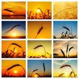 套与金黄庄稼的图片在日落 免版税库存图片