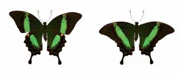 套两只美丽的蝴蝶Papilio海螯虾 库存图片
