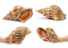 套另外大贝壳用手 背景查出的白色 库存照片