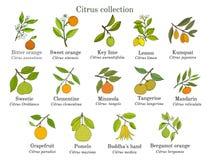 套另外柑橘分支用果子和叶子 皇族释放例证