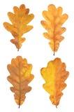套四片自然被扫描的橡木叶子 免版税库存照片